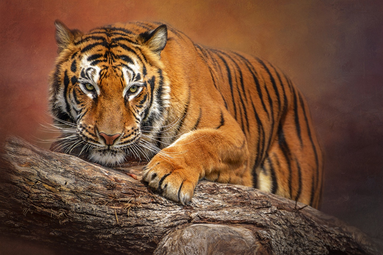 Photos Tigers Bokeh Paws Whiskers Animals Staring tiger blurred background animal Glance