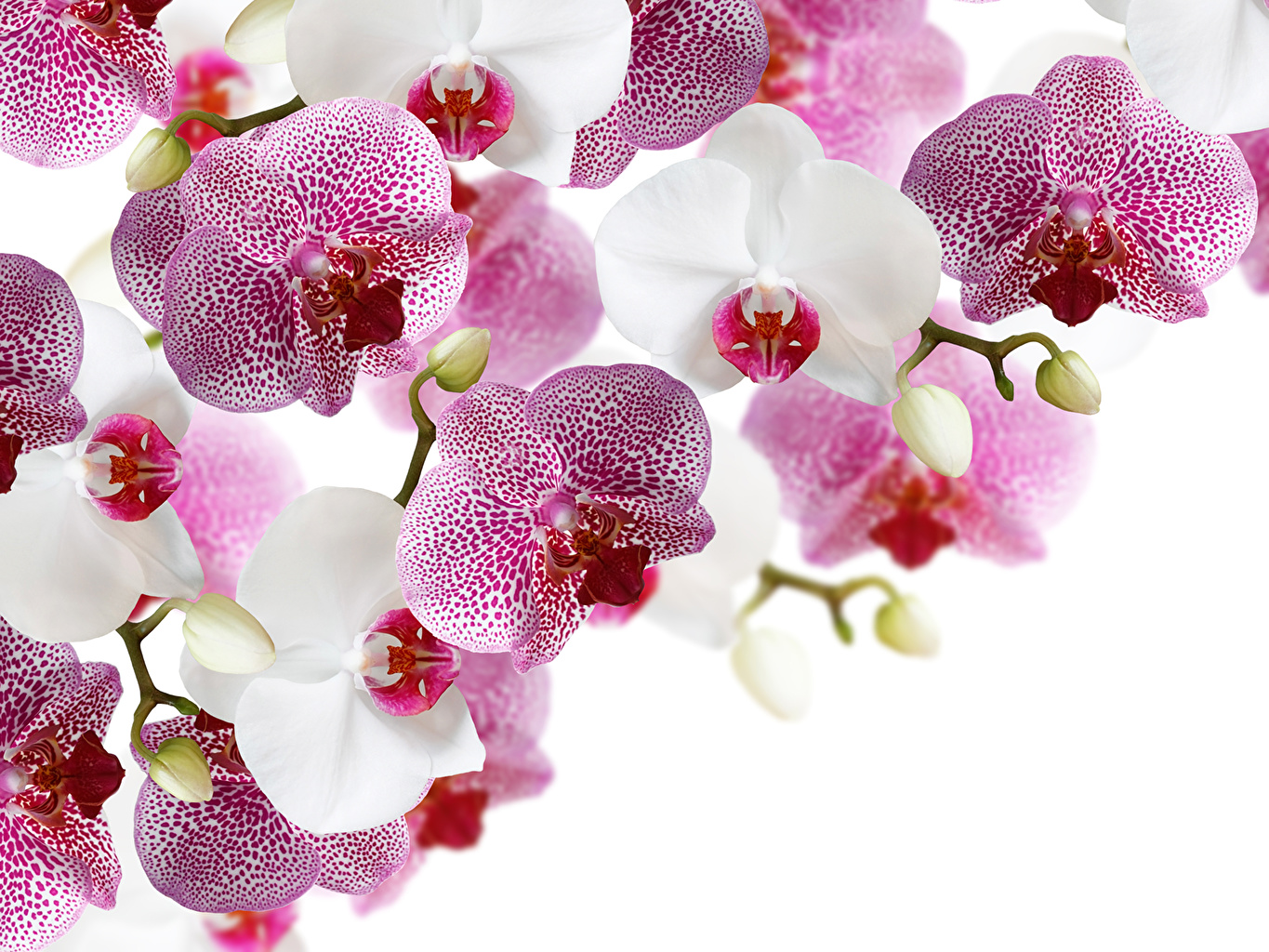 Fonds D Ecran Orchidees En Gros Plan Fond Blanc Fleurs Telecharger Photo