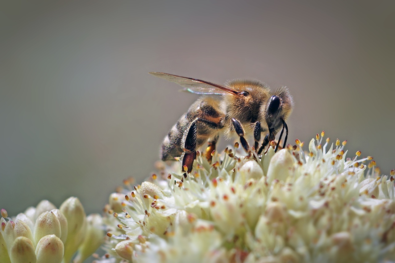 Wallpaper Bees Insects animal Closeup Animals