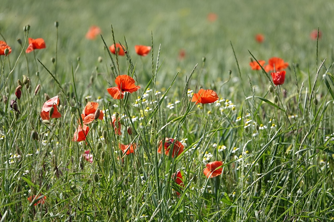 Pictures Red Nature Poppies Grass papaver