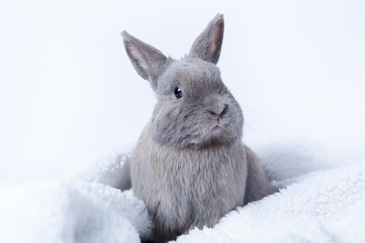 Lapin de garenne Gris un animal, lapins, grise Animaux