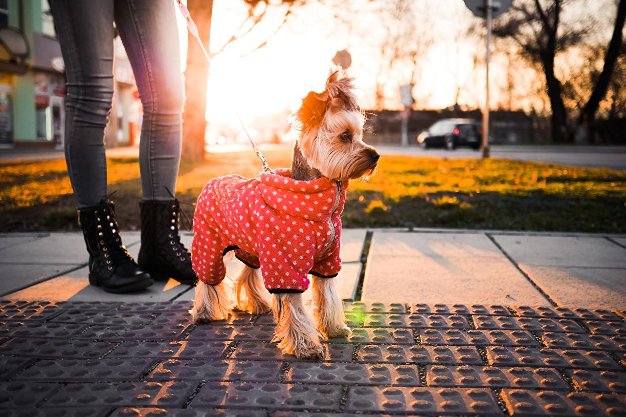Desktop Hintergrundbilder Yorkshire Terrier Hunde Tiere hund ein Tier