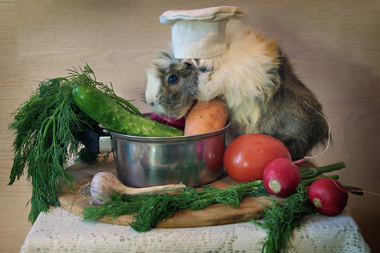 Photo Guinea pigs Tomatoes Radishes Cucumbers Winter hat Dill Garlic Food Vegetables Animals cuy cavy Allium sativum animal