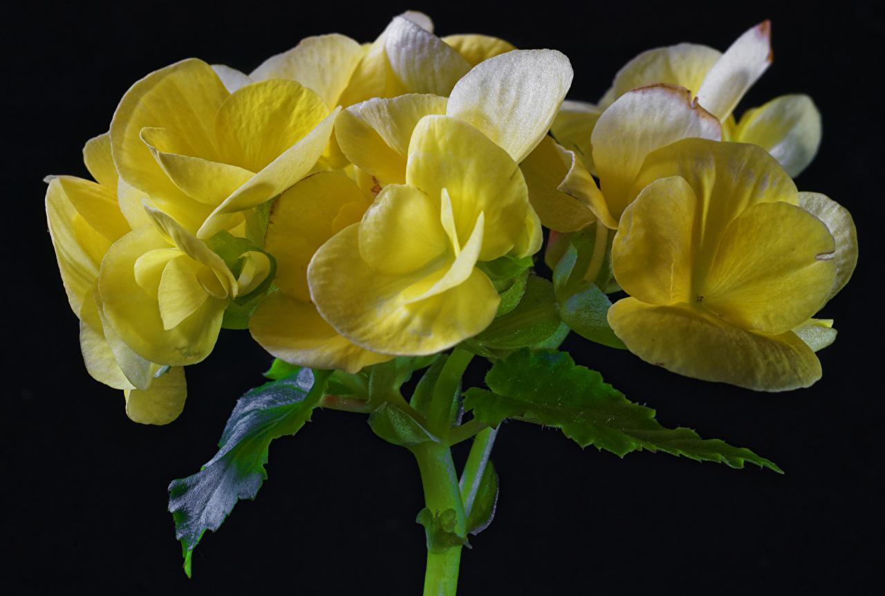 Fotos von Gelb Blumen Begonien Großansicht Schwarzer Hintergrund