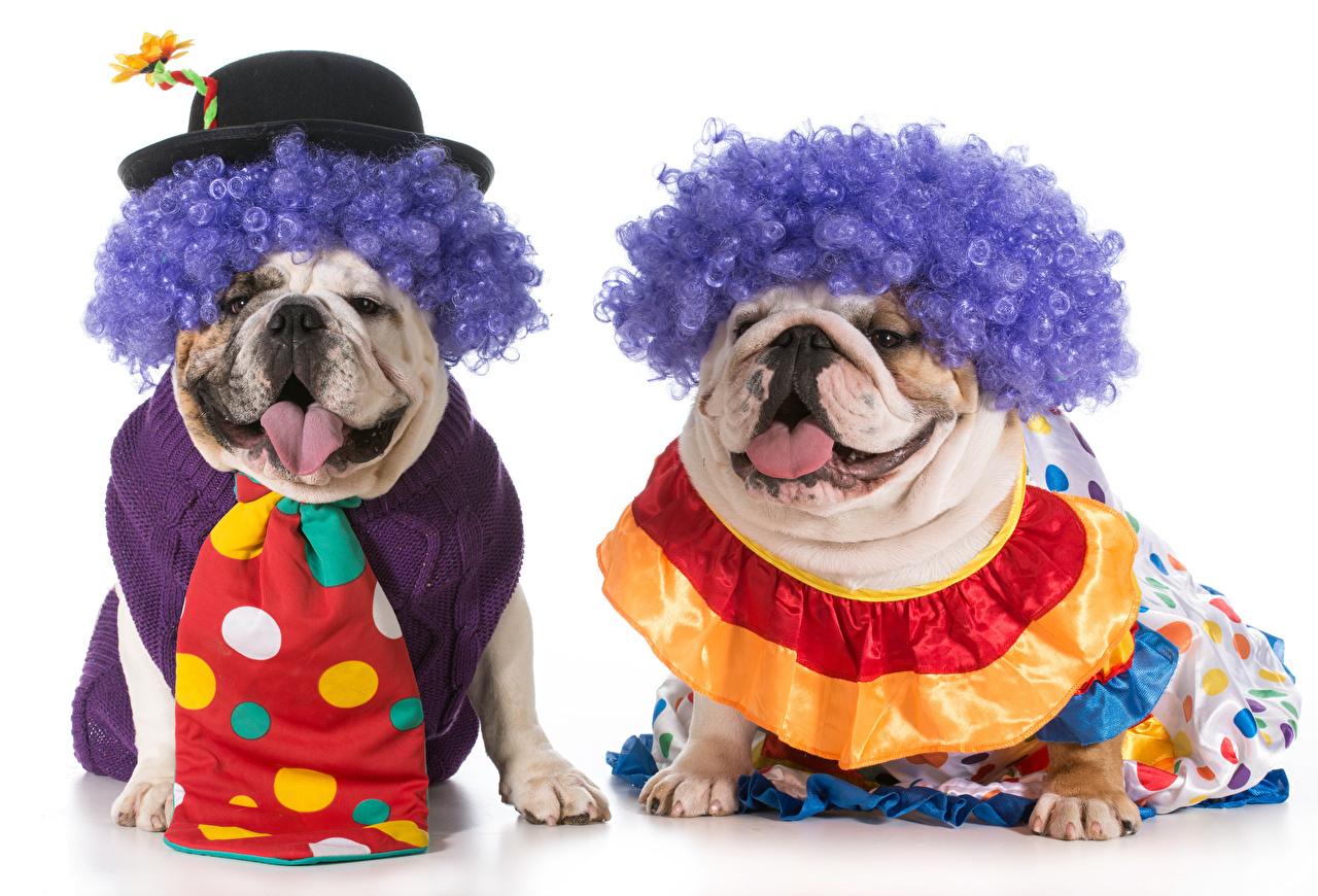Pictures Bulldog Dogs Clown Two Hat Hair Necktie animal White background dog clowns 2 Animals