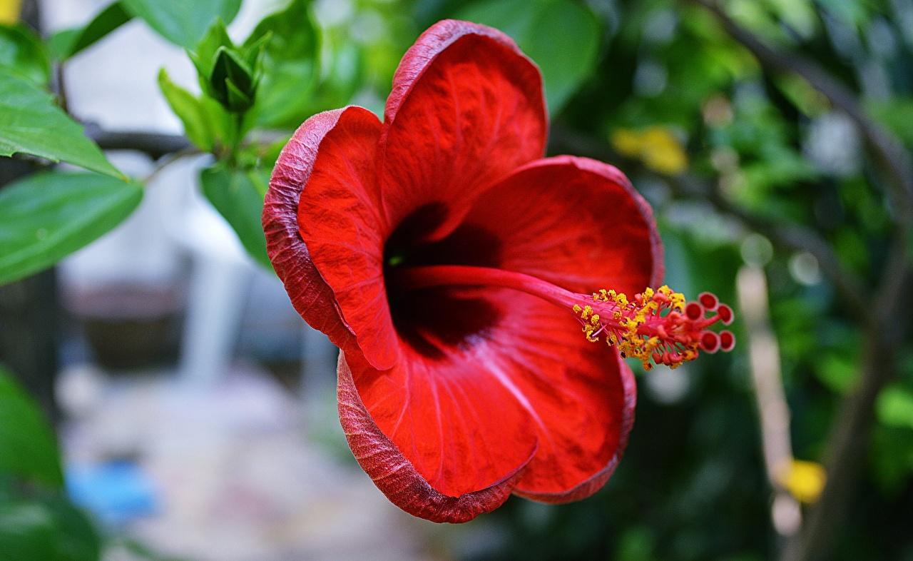 Bilder von Rot Blumen Hibiskus Großansicht Eibisch