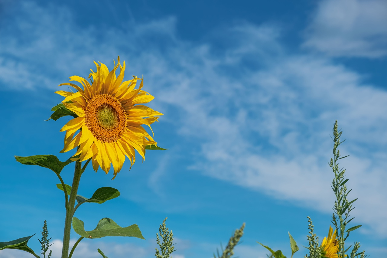 Picture Yellow flower Helianthus Flowers Sunflowers