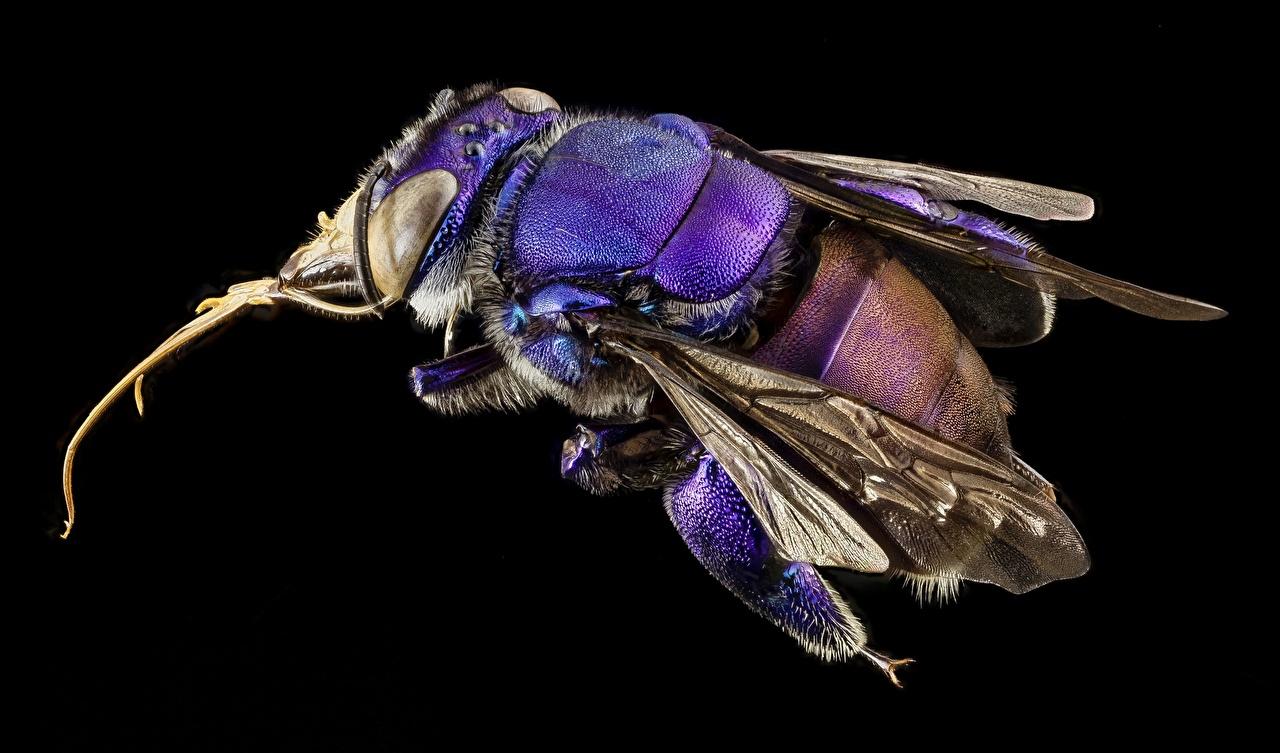 Foto Bienen Orchid bees, Euglossini Makro Tiere hautnah Schwarzer Hintergrund Makrofotografie ein Tier Nahaufnahme Großansicht
