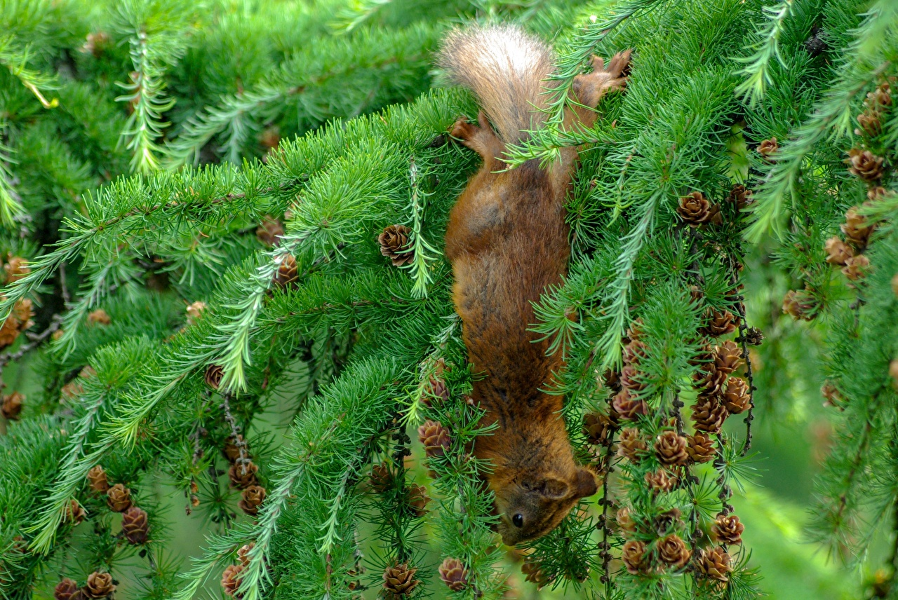 Photos Squirrels Spruce Branches Pine cone Animals Conifer cone