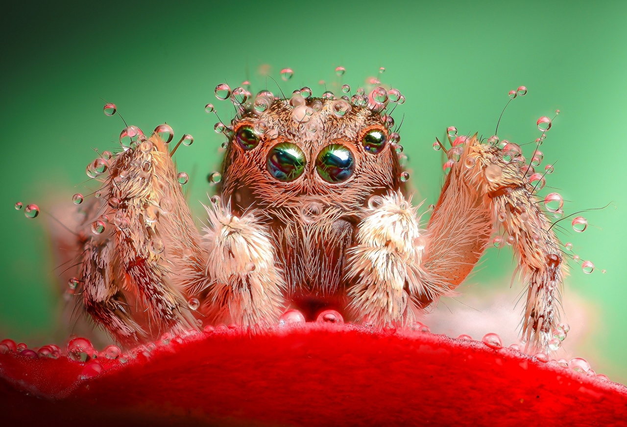 Insectos Araneaes De cerca Salticidae animales, un animal Animalia