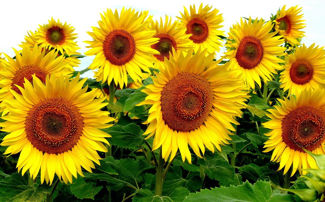 Desktop Wallpapers flower Sunflowers Flowers Helianthus