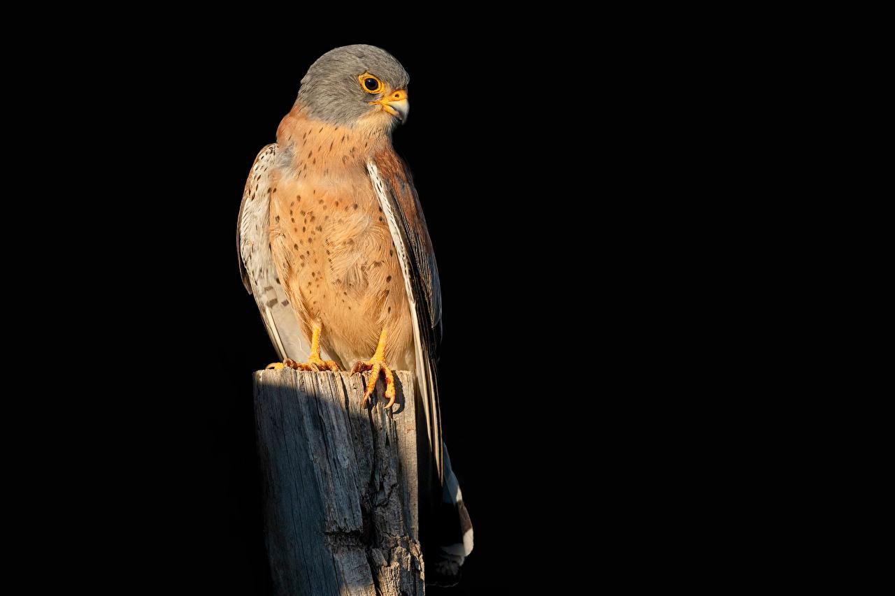Foto Vögel Falken Falco naumanni Tiere Schwarzer Hintergrund Vogel ein Tier