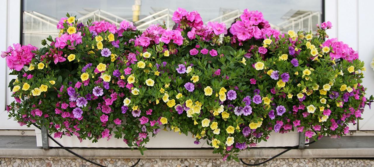 Image flower Geranium Calibrachoa Flowers