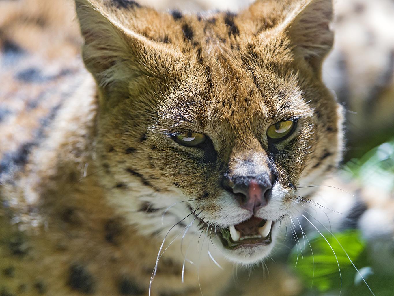 壁紙 ヒョウ亜科 サーバル 凝視 C Tambako The Jaguar 動物