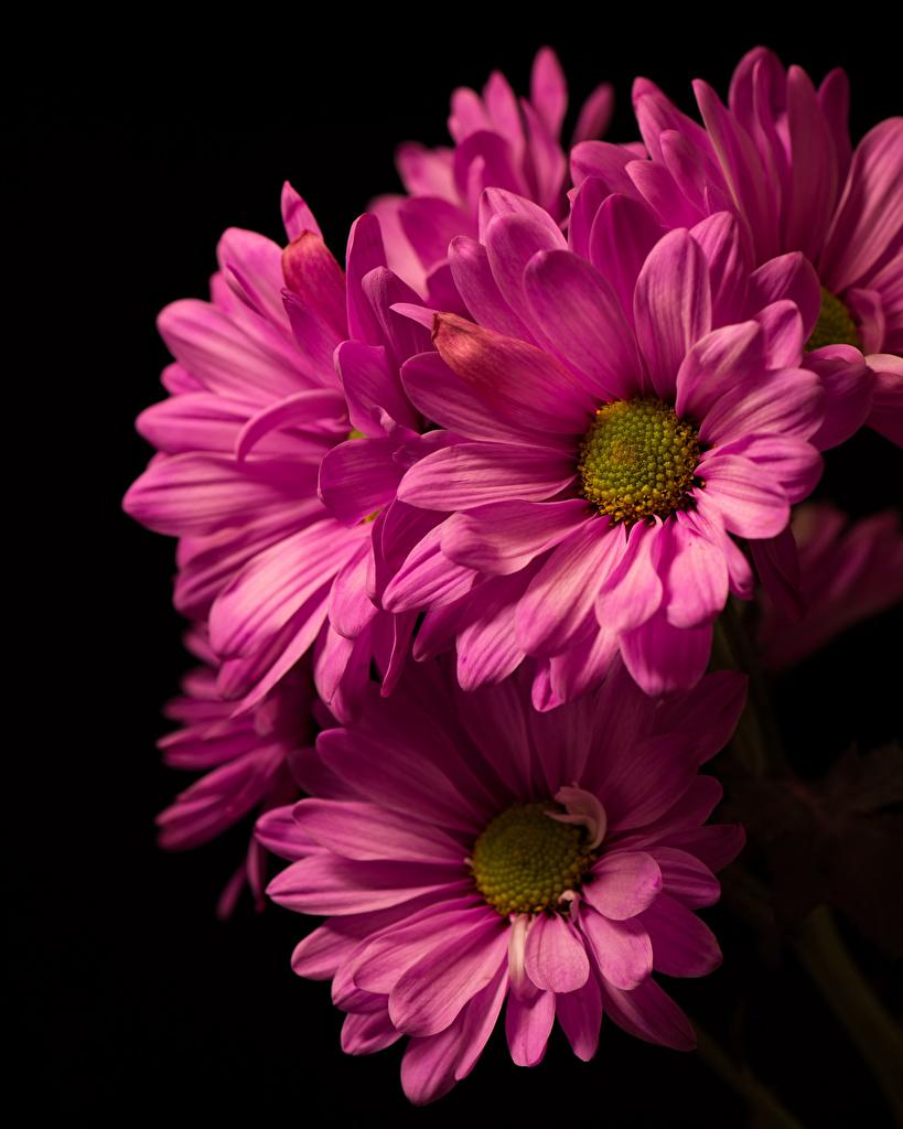 Foto Rosa Farbe Blumen Chrysanthemen Großansicht Schwarzer Hintergrund  für Handy Blüte hautnah Nahaufnahme