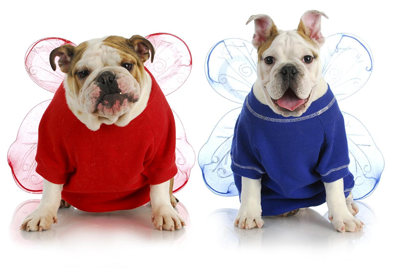Photo Animals 2 Dogs Uniform White background Bulldog Wings Clothes animal Two dog Clothing