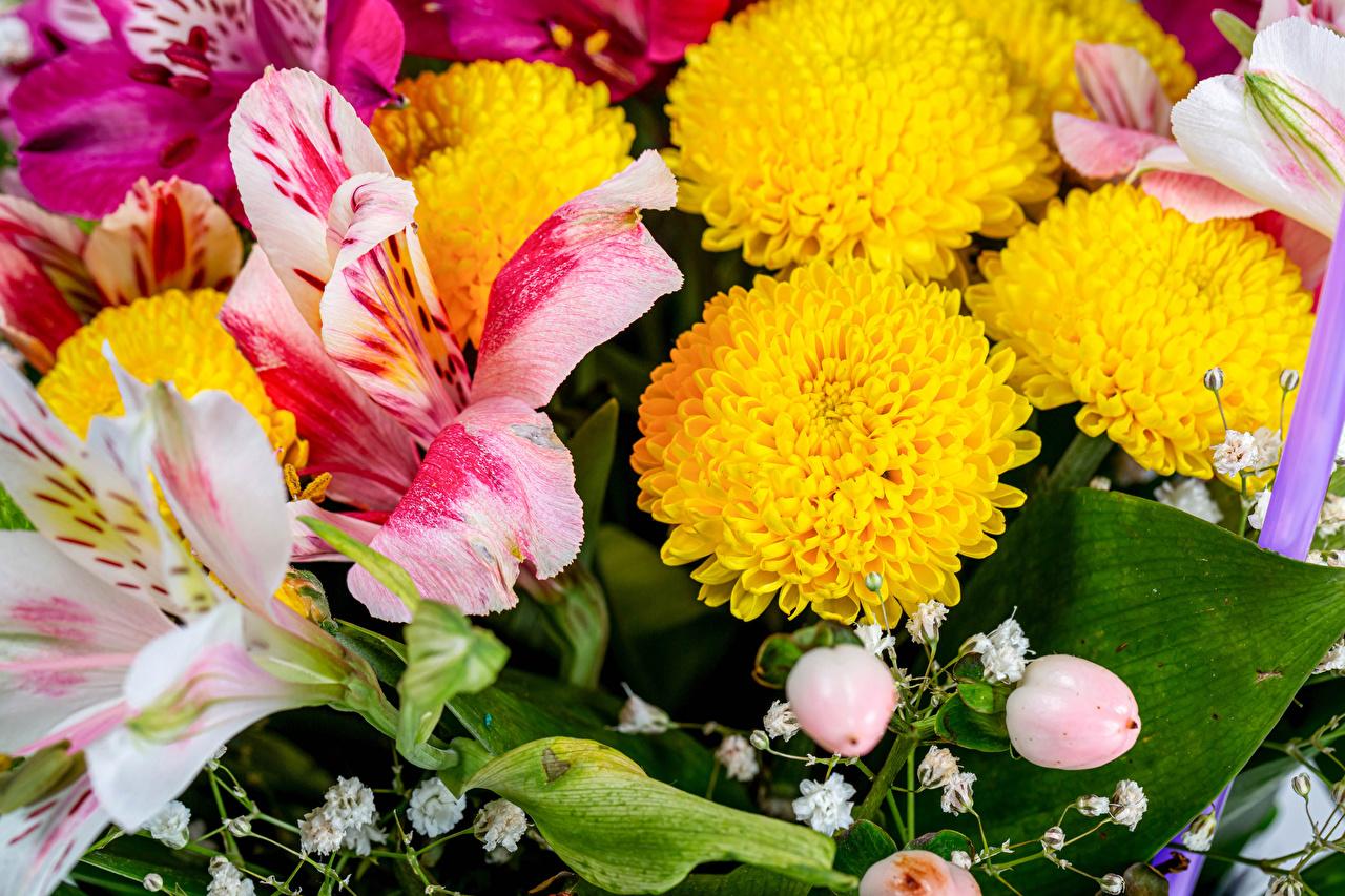 Desktop Wallpapers flower Chrysanths Alstroemeria Closeup Mums Flowers Chrysanthemums
