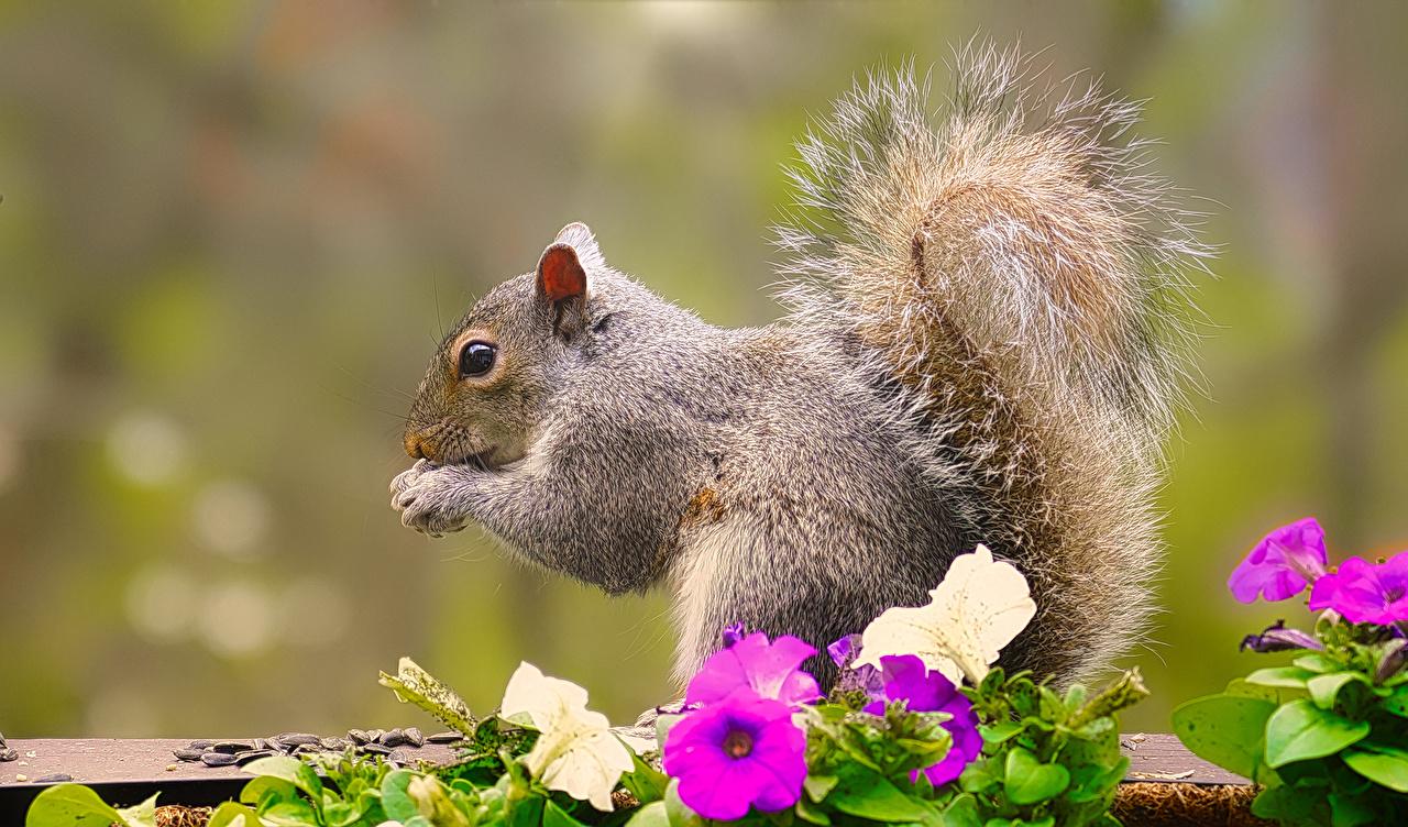 Photos Squirrels Bokeh Tail Petunia animal blurred background Animals