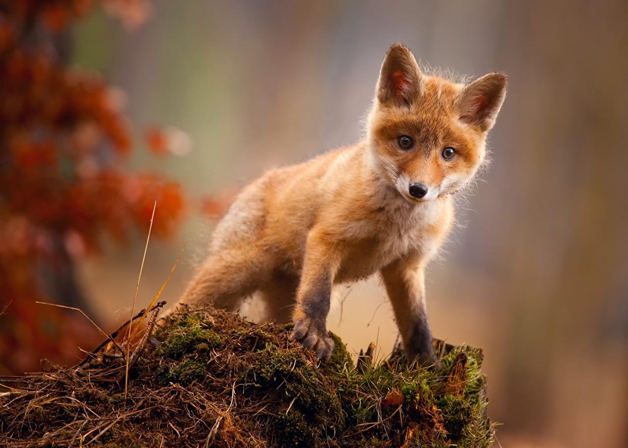 壁紙 キツネ 若い動物 可愛い 動物 ダウンロード 写真