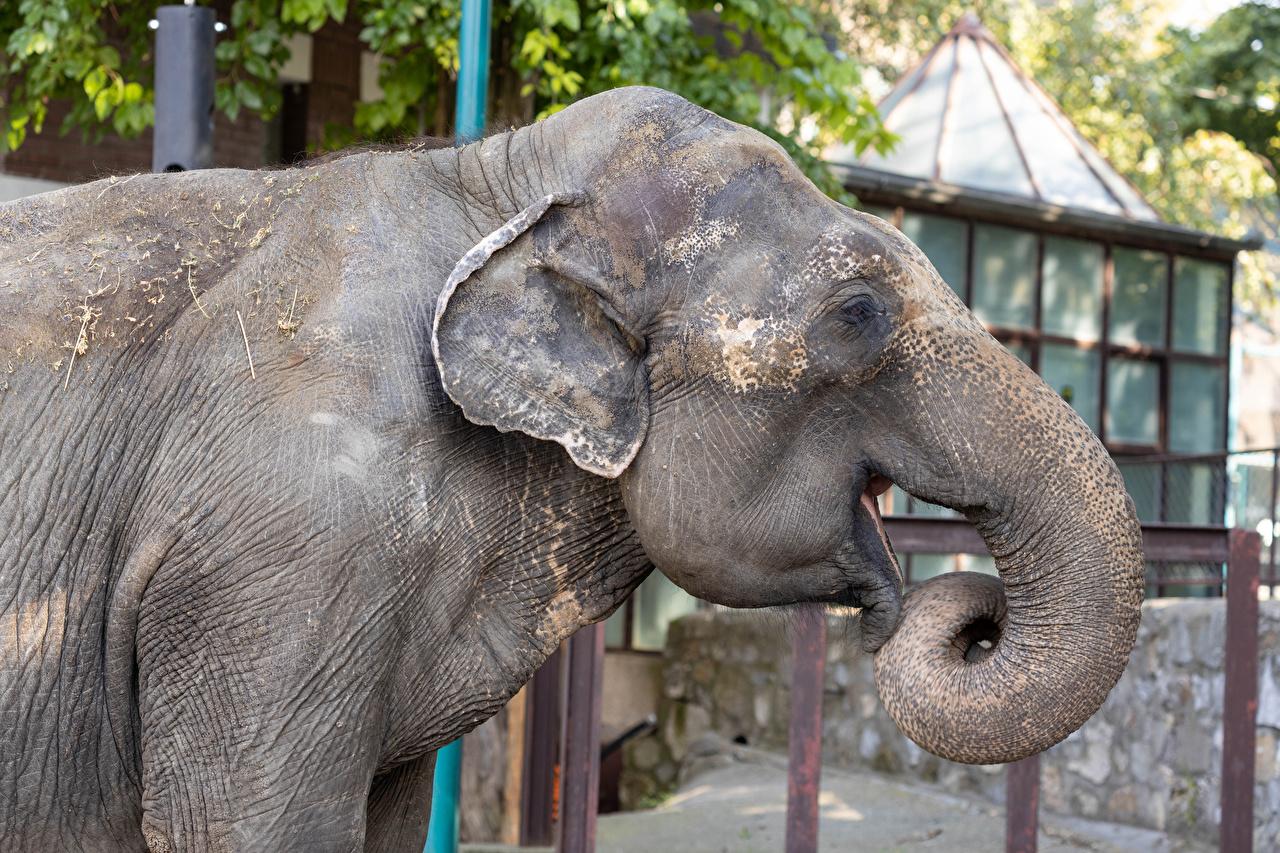 Picture elephant Side Snout Animals Elephants animal