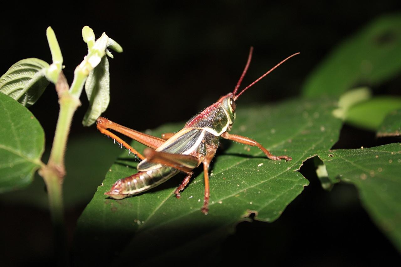 Desktop Hintergrundbilder Insekten Heuschrecken Blattwerk hautnah ein Tier Blatt Tiere Nahaufnahme Großansicht