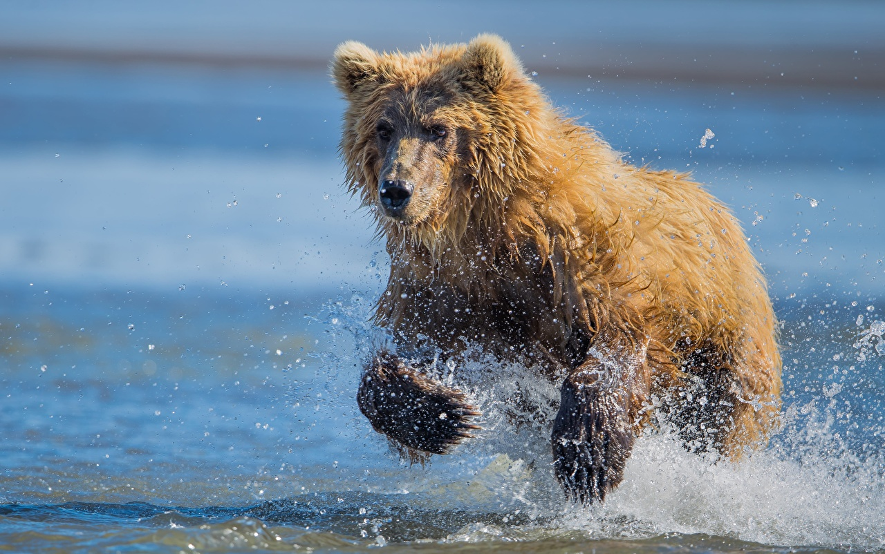 Photos Brown Bears bear Run Paws Water splash Glance Animals Grizzly Bears Running animal Staring