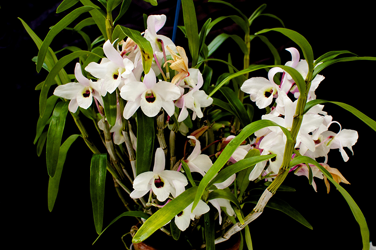 Picture White orchids Flowers Orchid flower
