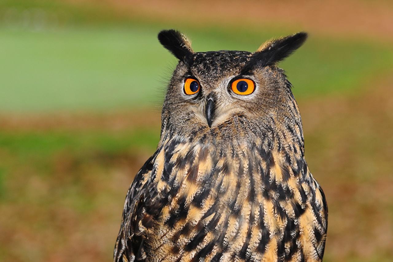 Desktop Wallpapers Eurasian eagle-owl Birds Glance animal bird Staring Animals