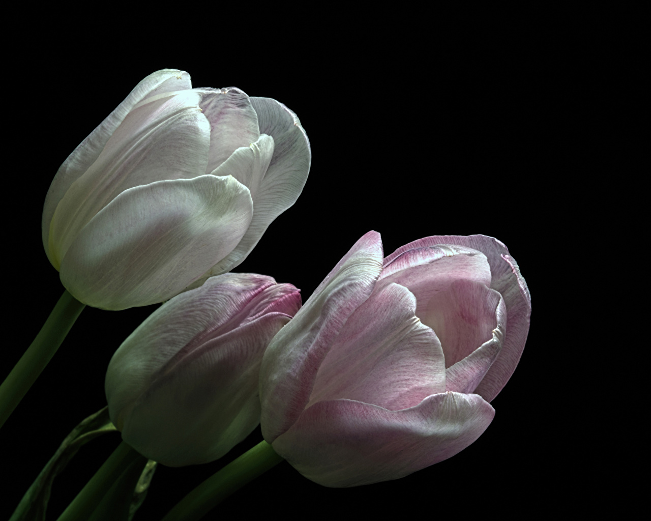 Images tulip flower Three 3 Closeup Black background Tulips Flowers