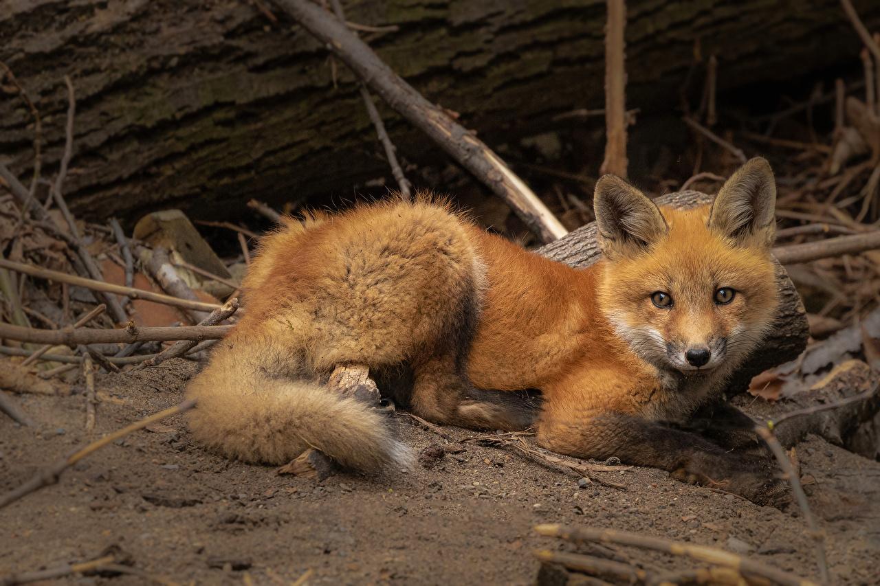 Photos Foxes Staring Animals Glance animal