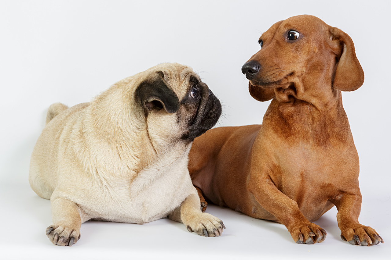 Picture Pug Dachshund Dogs 2 Animals dog Two animal