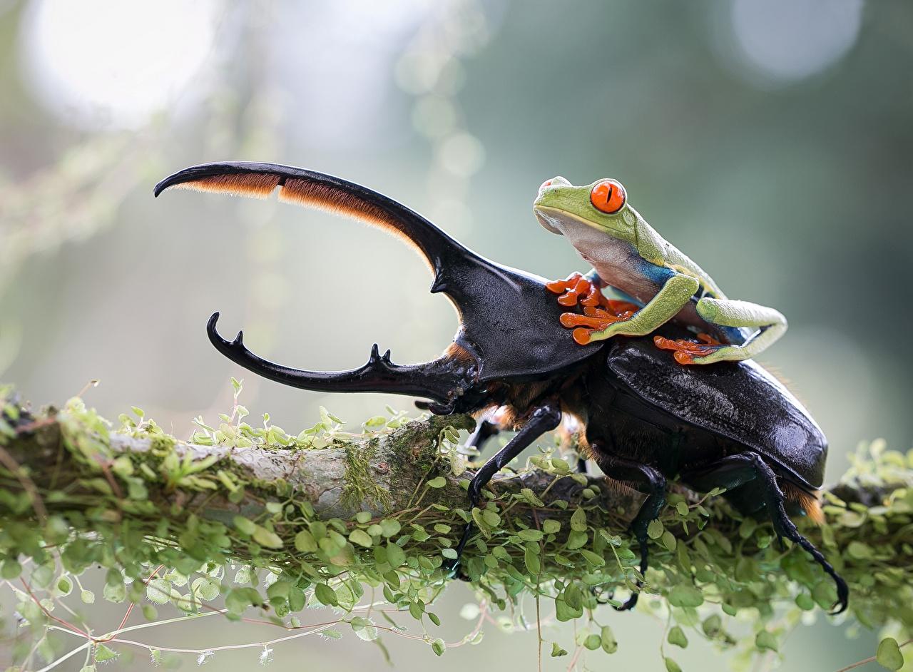 壁紙 カエル カブトムシ クローズアップ 動物 ダウンロード 写真