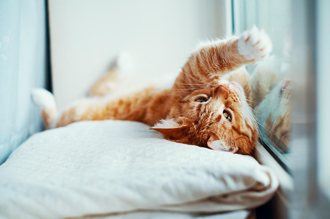 Desktop Hintergrundbilder Katze Fuchsrot Pfote Fenster Tiere Kissen Katzen Hauskatze orange rot ingwer farbe ein Tier