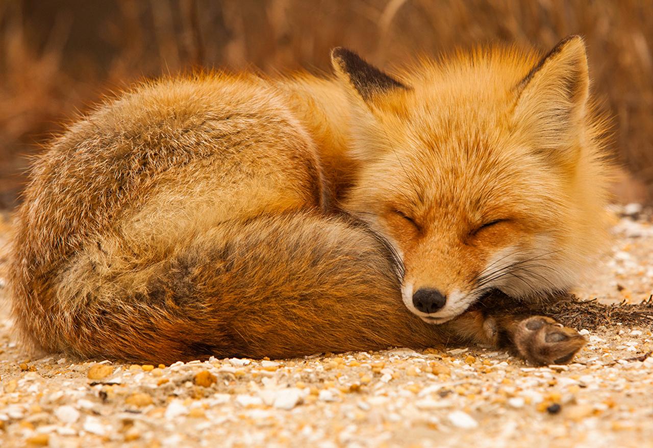 壁紙キツネオレンジ色動物眠る動物ダウンロード写真