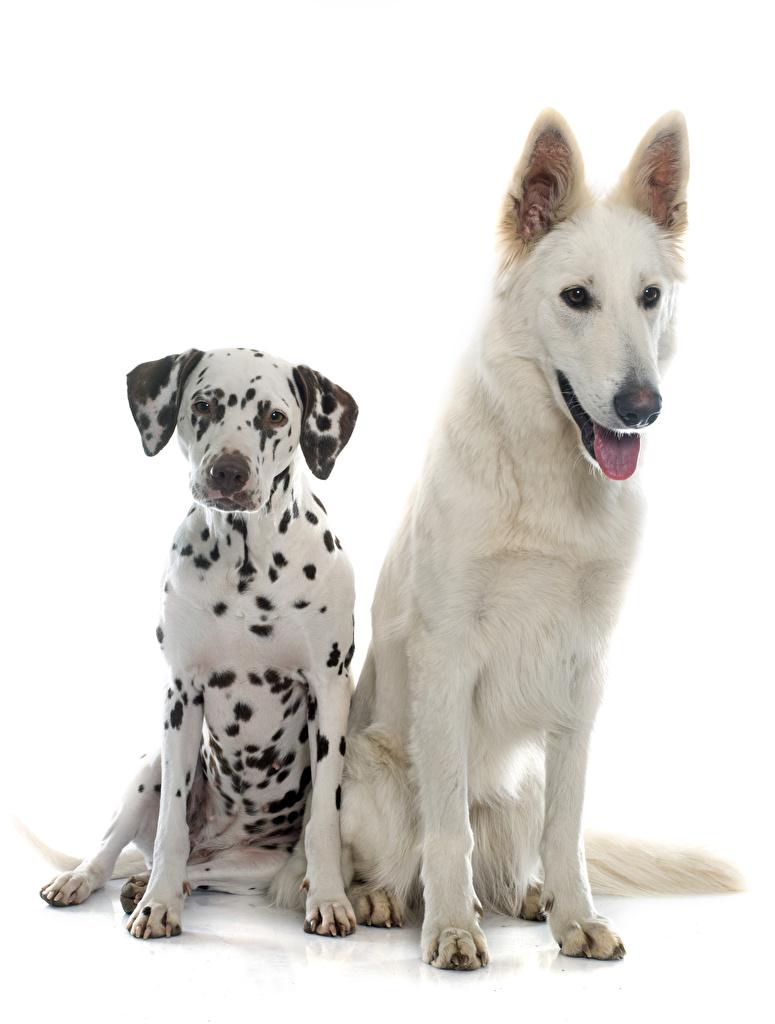 Bilder Dalmatiner Hunde Swiss Shepherd Zwei Tiere Weißer hintergrund 2