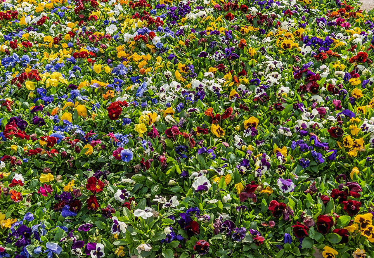 ,三色堇,很多,七彩,多色,花卉,