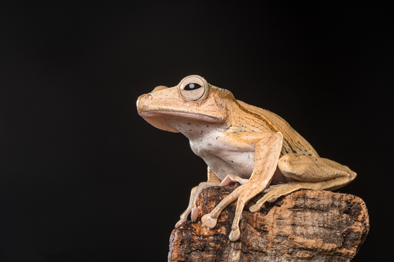 Photos Frogs Borneo Eared Frog stone animal Black background frog Stones Animals