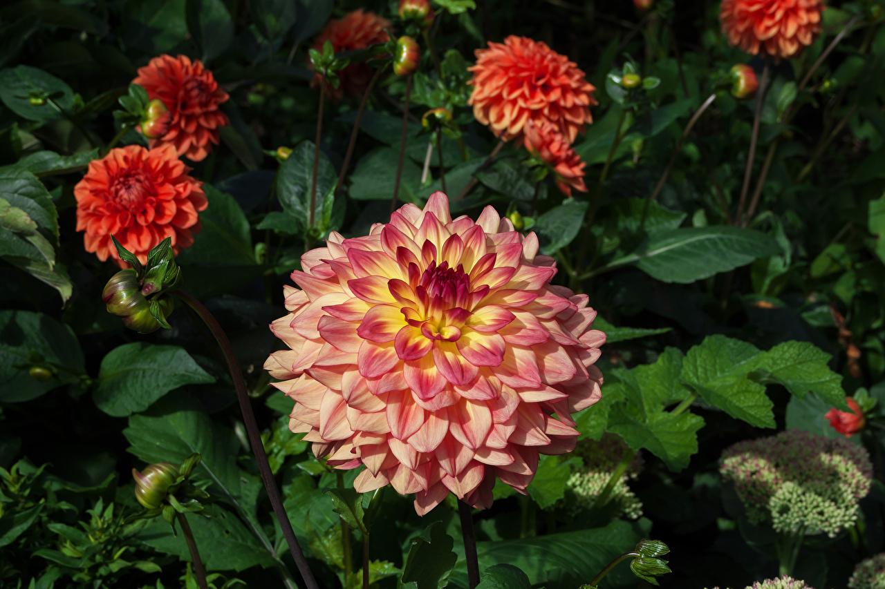 Desktop Hintergrundbilder Rosa Farbe Blumen Dahlien Blüte Georginen