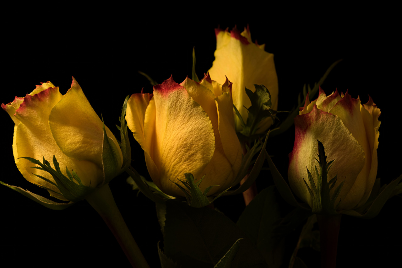 Desktop Wallpapers rose Yellow Flowers Closeup Black background Roses flower