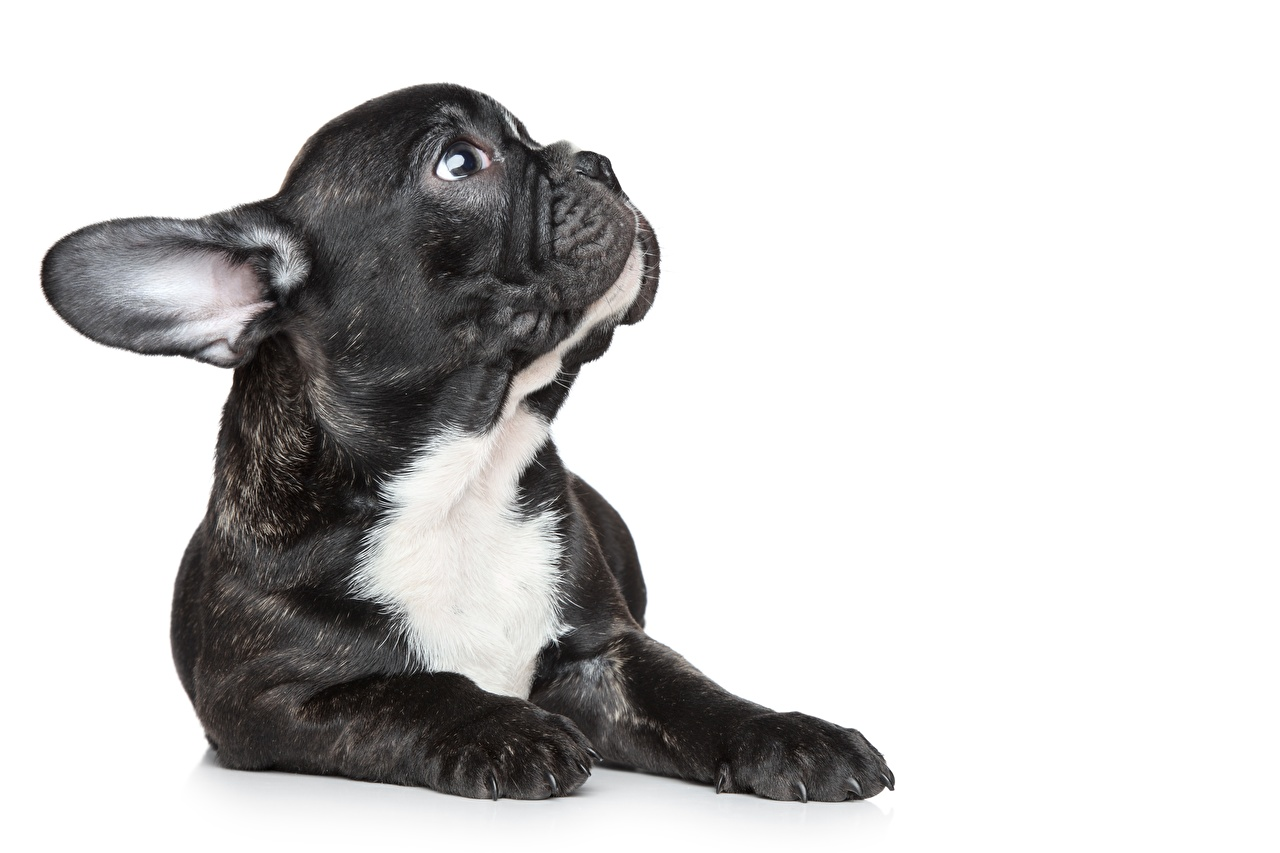 Pictures Puppy French Bulldog Snout animal White background puppies Animals