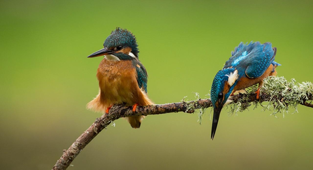 Обои для рабочего стола Обыкновенный зимородок птица Двое Ветки животное Птицы 2 два две вдвоем ветвь ветка на ветке Животные