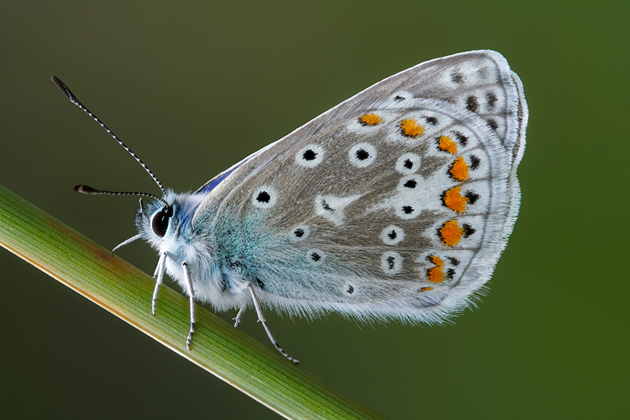 Image Insects butterfly common blue Closeup Animals Butterflies animal