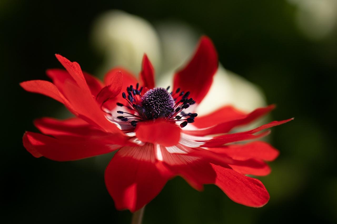 Desktop Hintergrundbilder unscharfer Hintergrund Rot Blüte Anemonen Nahaufnahme Bokeh Blumen Anemone Windröschen hautnah Großansicht