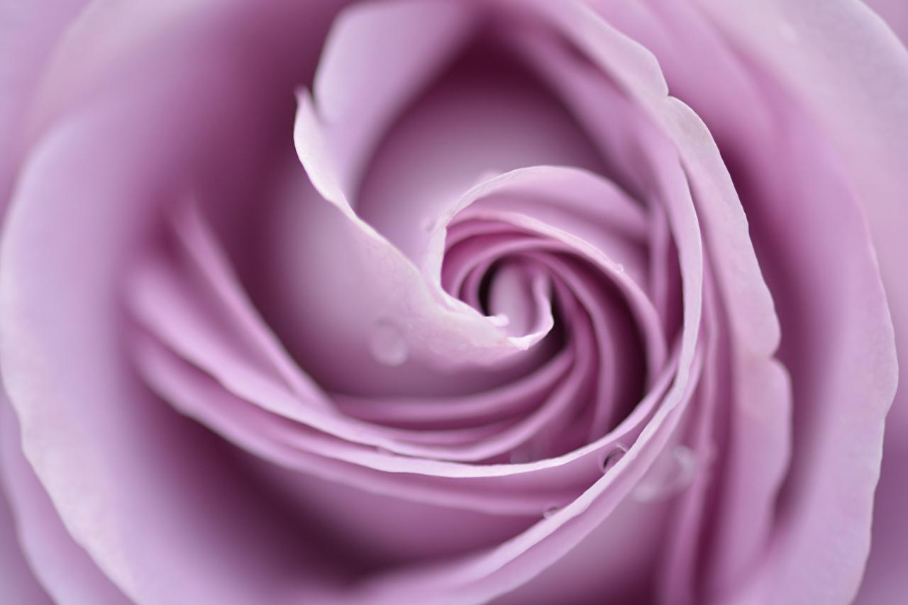 ,特寫,玫瑰,微距攝影,,花卉,