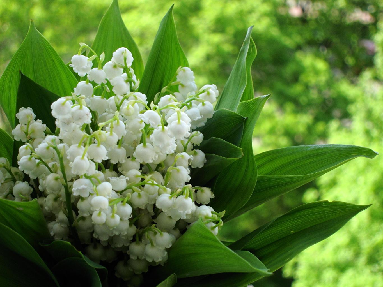 Fonds d'ecran Muguet de mai Fleurs télécharger photo