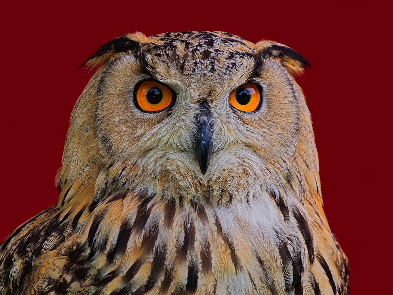 Fotos Uhu Vogel Eagle Owl Schnabel Schnauze Tiere Farbigen hintergrund Vögel ein Tier