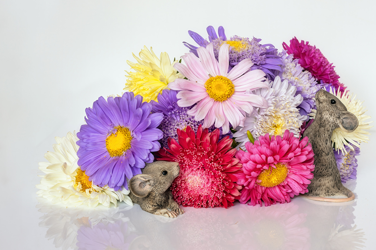 Pictures Mice Multicolor Two Flowers Chrysanthemums Gray background 2 Mums flower Chrysanths