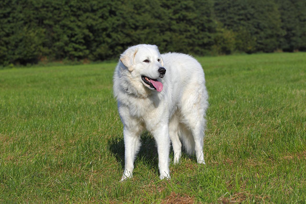 Photo Dogs Kuvasz White Tongue Grass Animals
