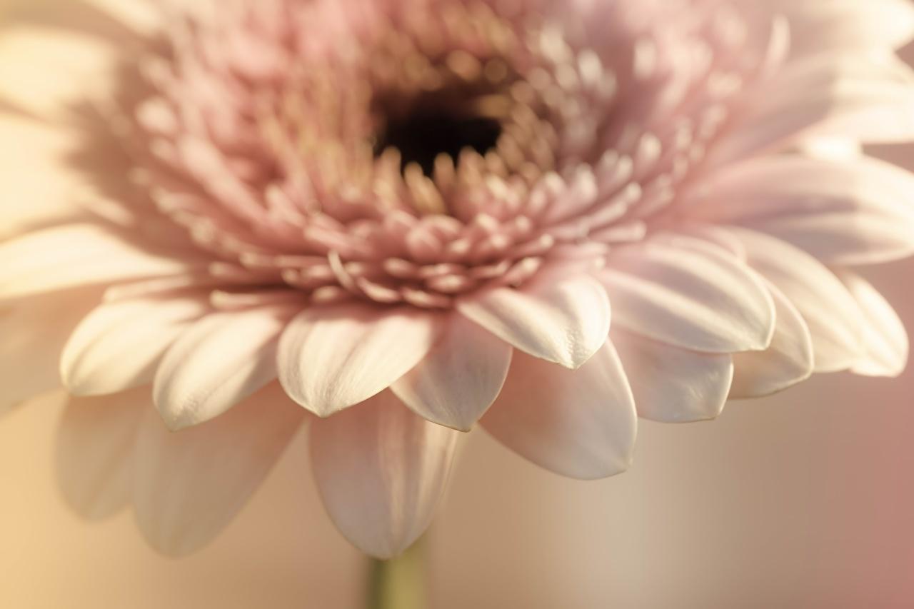Fotos Bokeh Gerbera Blumen Großansicht unscharfer Hintergrund Blüte hautnah Nahaufnahme