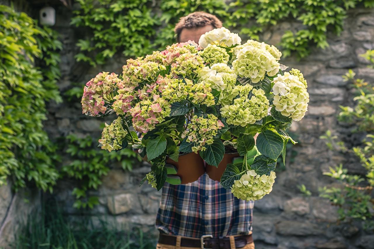 Bilder von Mann unscharfer Hintergrund Sträuße Blumen Hortensien Bokeh Blumensträuße Blüte Hortensie